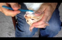 How to Brush Your Cat's Teeth