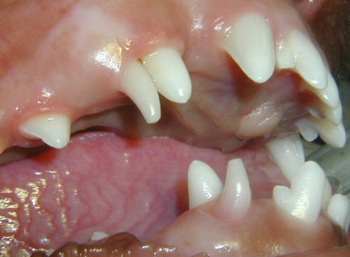 Mixed dentition in dogs or cats - Arizona Veterinary Dental Specialists